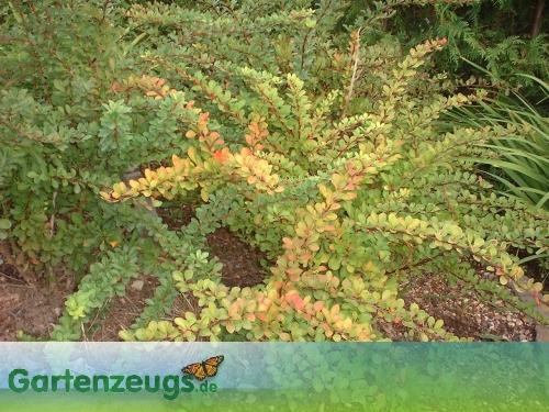 Berberitze, auch Sauerdorn - (Berberis)