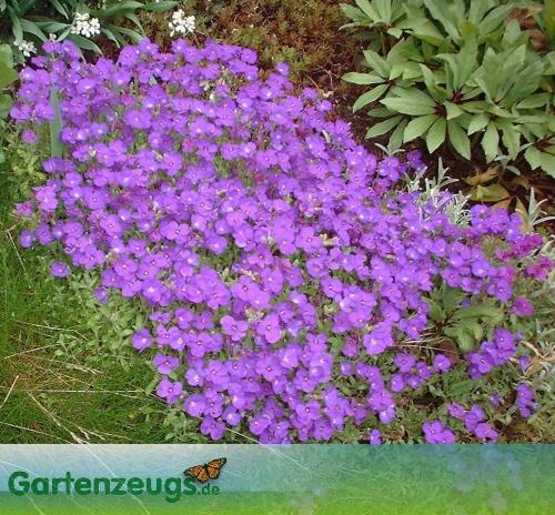 Blaukissen - (Aubrieta)