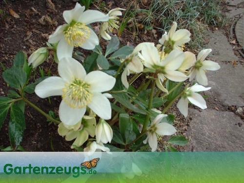 Christrose - (Helleborus)