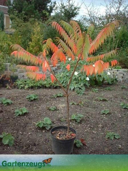 Essigbaum, auch Sumach - (Rhus)
