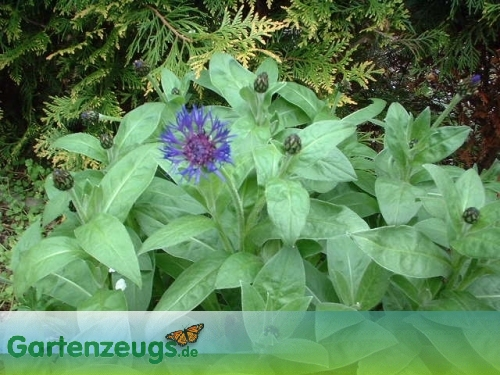Flockenblume - (Centaurea)