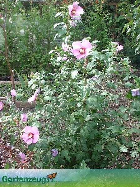 Eibisch, auch Freilandhibiscus - (Hibiscus)