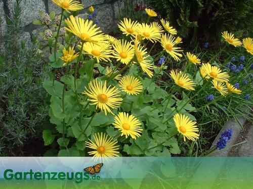 Gemswurz - (Doronicum)