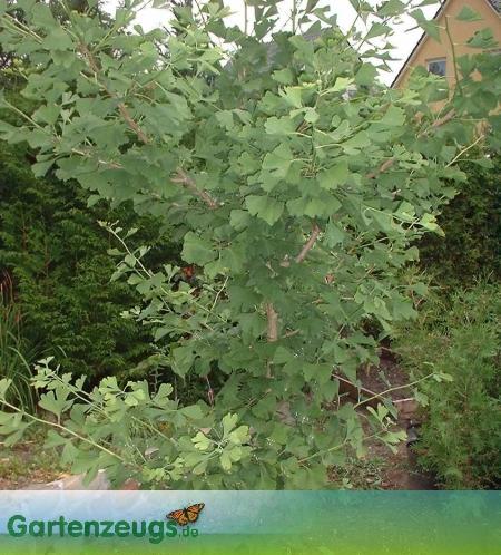 Ginkgobaum - (Ginkgo biloba)
