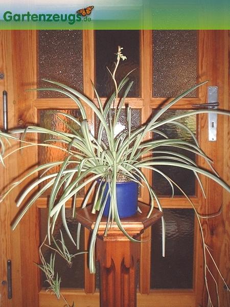 Grünlilie - (Chlorophytum comosum)