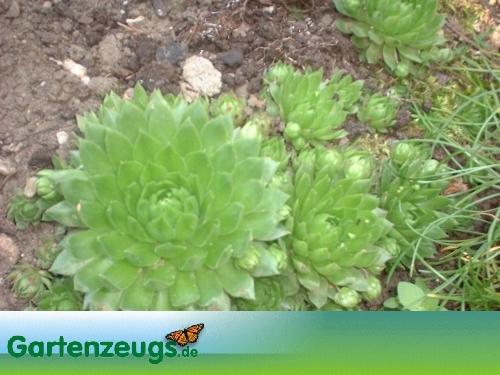 Hauswurz - (Sempervivum)