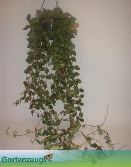 Wachsblume - (Hoya billabata)