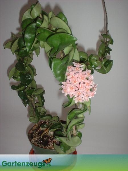 Wachsblume - (Hoya carnosa compacta)