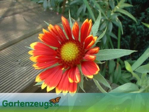 Kokardenblume - (Gaillardia)