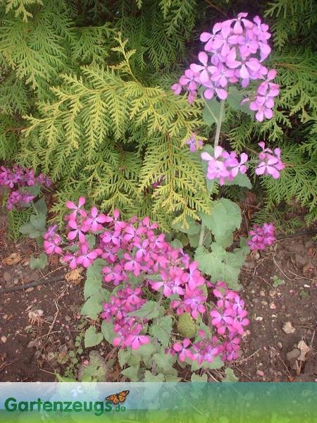 Silberling - (Lunaria)