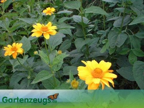 Sonnenhut - (Rudbeckia)