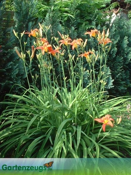Taglilie - (Hemerocallis)
