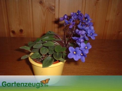 Usambaraveilchen - (Saintpaulia)