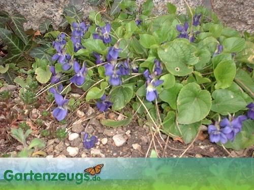 Veilchen - (Viola)