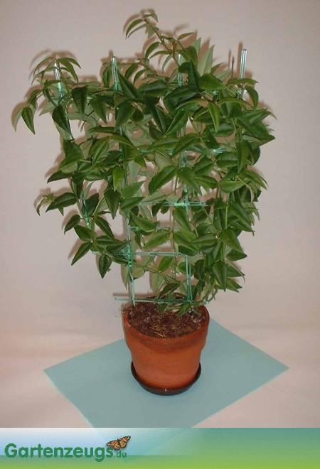 Wachsblume - (Hoya bella)
